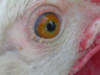 eye_lice_1.PNG