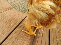 chicken 1.JPG