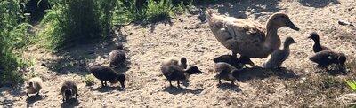 Sweetie ducklings.jpg