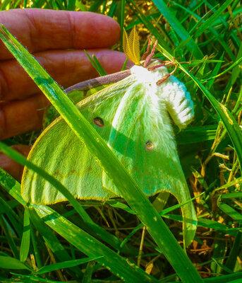 luna moth b.jpg