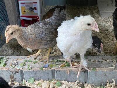 Alchemist Farm Chicks Moss Egger(white) and ?.jpg