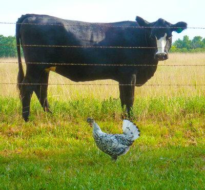w cow.jpg