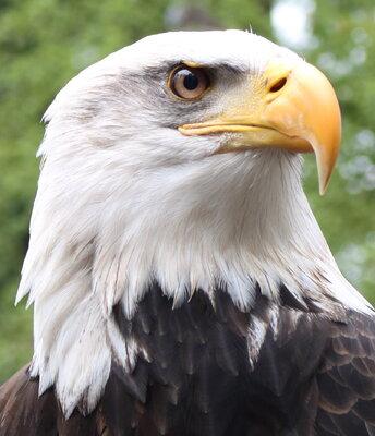 Bald Eagle - Thera 2.JPG