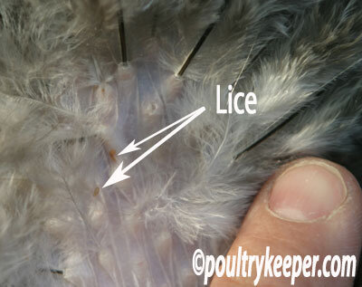 lice-on-chicken.jpg