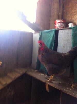 Beetov-Hen on boxes.JPG