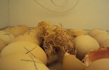 Egg failure to hatch - Diagnosing incubation problems
