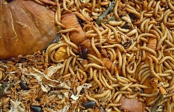 How To Raise Mealworms