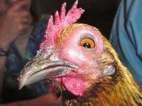 sinusitis-chicken.jpg