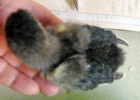 Marans chick tiny 5-21-17.jpg