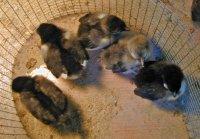 Marans chicks 5-21-17.jpg