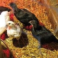 Chickann