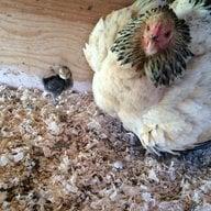 ChickenKid11