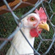 chickenprison