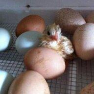 kelly's hen house