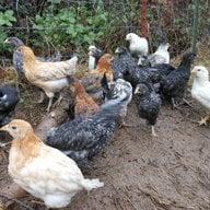 chickenarmy