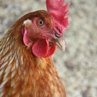 heart my hens