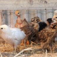 kycklingmamma