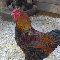 Banner Ridge Chick