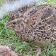 quailmekiwi
