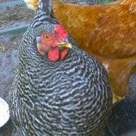 Chicks on DL