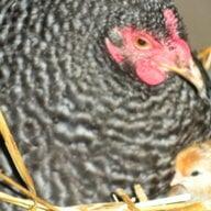chickenlickin8