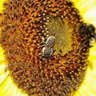 Sunflowergirl