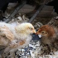 ChickTracy
