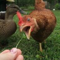 fowl farm