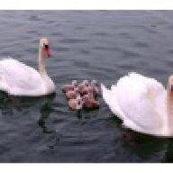 SwanFever