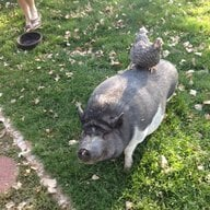 chick-n-pigs