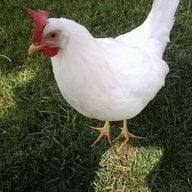 Fred the Hen