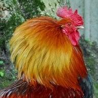 scratch'n'peck