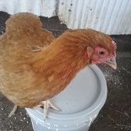 chickengirl2013