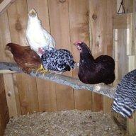Atiila The Hen