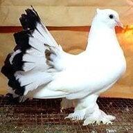 pigeonman95