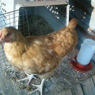 Chicky Chicken