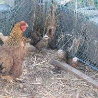 Winstarr Chicks