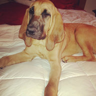 bloodhoundmom