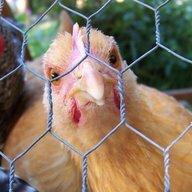 Chicken Myster