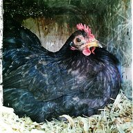 chickensunday