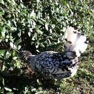 ChickenLover603
