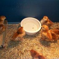 chicks4browns