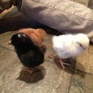 atlanta chick