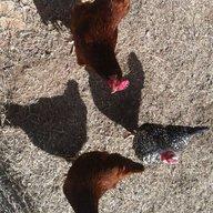 ChickengalOK