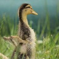 DucksnDaffodils