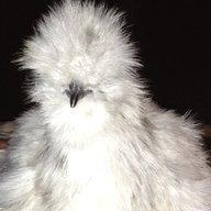 Chillin Chick