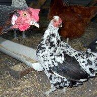 I heart Hens
