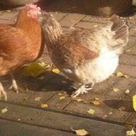 my french hen