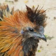 ChickenFox