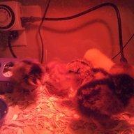 chickcity